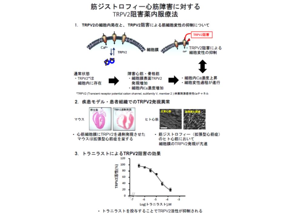 筋ジストロフィー心筋障害に対するTRPV2阻害薬内服療法の概要